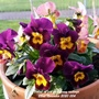 Violas in pot on balcony railings 22nd November 2020 004