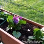 Pansies in trough on balcony railings 22nd November 2020 001 (Viola x wittrockiana)