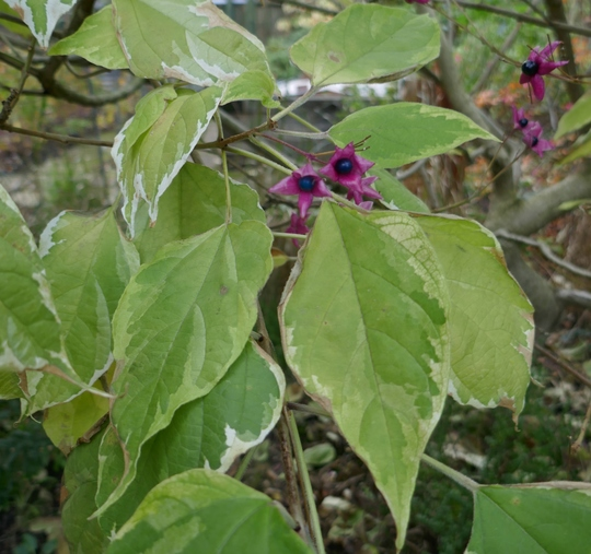 Clerodendrum trichotomum 'Carnival' - 2020 (Clerodendrum trichotomum)