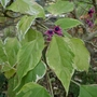 Clerodendrum_trichotomum_carnival_2020