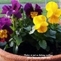 Violas in pot on balcony railings 22nd November 2020