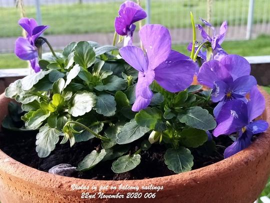 Violas in pot on balcony railings 22nd November 2020