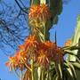 Tree Aloe in bloom.2 (Aloidendron tongaensis)