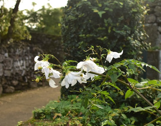 Dahlia campanulata (Dahlia campanulata)