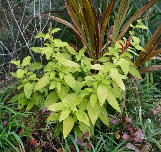 Salvia elegans 'Golden Delicious' - 2020 (Salvia elegans)