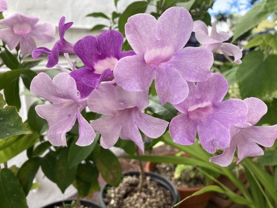 My Garlic Vine (Mansoa alliacea)