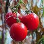 Tomato - Bloody Butcher (Solanum lycopersicum (Tomato))