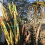 2 meter 21 year old Euphorbia trigona 'rubra'..into the ground. (Euphorbia trigona)