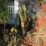 Euphorbia trigona full shot. (Euphorbia trigona rubra)
