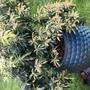 Pieris plant