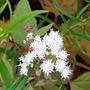 Tiny Flowers on Ageratina (Eupatorium) Chocolate 07.11