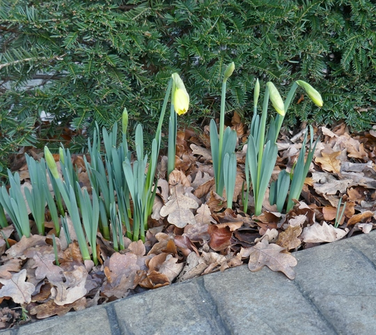 Almost .... (Narcissus 'Reinveld's Early Sensation')