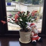 Christmas cacti. (Schlumbergera)