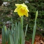 The Eagle has landed (Narcissus 'Reinveld's Early Sensation')