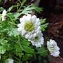 Feverfew (Tanacetum parthenium).... double (Tanacetum parthenium)