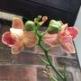 Phalaenopsis  (Phalaenopsis)