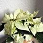 Euphorbia pulcherima