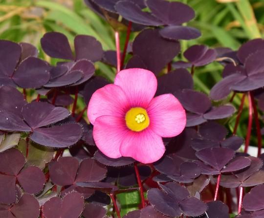 Oxalis purpurea 'Garnet' (Oxalis purpurea)