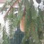Evergreen Elegance: Weeping White Spruce