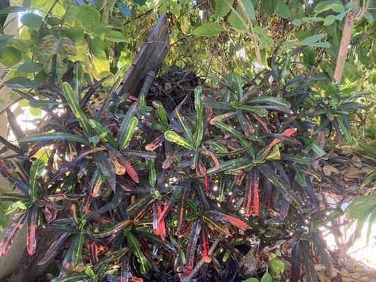 Codieaum variegatum 'Mammy'