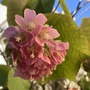 Dombeya Flower  Merry Christmas