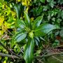 Camellia buds.