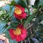 Camellia x vernalis 'Yuletide'.