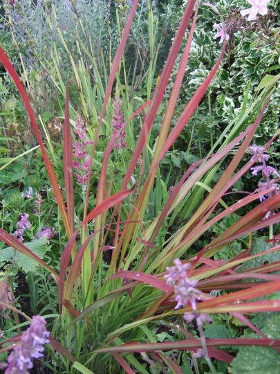 Imperata cylindrica 'Red Baron' (Imperata cylindrica (Bai mao gen))