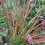 Imperata_cylindrica_red_baron_