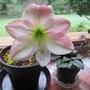 Amaryllis_apple_blossom_