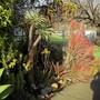 Firesticks gets redder in winter. (Euphorbia tirucalli (Milk Bush))