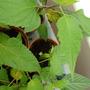 Salvia cuttings