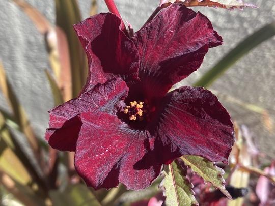 Cranberry Hibiscus Flower - Hibiscus acetosella