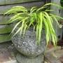 For Yorkslass  -  grass in a pot.
