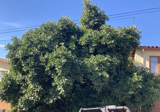 Ficus cyathistipula - Congo Fig