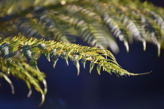 Tree fern fronds  (Dicksonia antarctica (Soft tree fern))