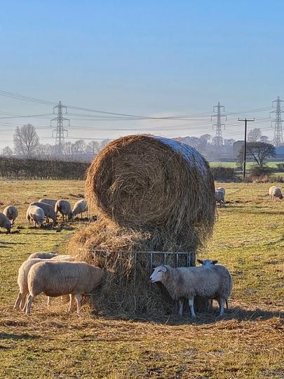 For Lindak- more sheep munching down on hay in Winteringham.