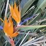 Strelitzia retinae - Bird-of-Paradise (Strelitzia retinae - Bird-of-Paradise)