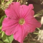 Pink Petunia Flower