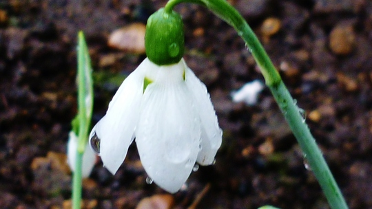 Large Snowdrops out.