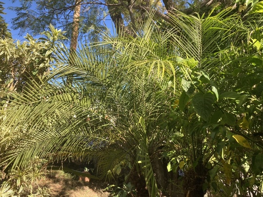 Phoenix roebellenii - Pigmy Date Palms (Phoenix roebellenii - Pigmy Date Palms)