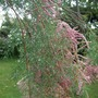 Tamarix in the rain. (Tamarix ramosissima (Saltcedar))