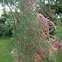 Tamarix in the rain. (Tamarix ramosissima (Saltcedar))
