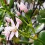 Money plant flowers [Crassula ovata] (Crassula ovata (Jade tree))