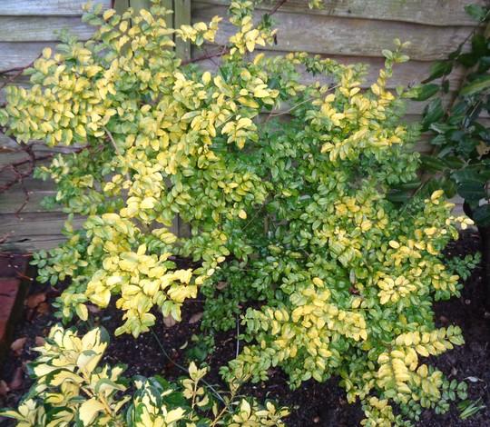 Ligustrum undulata (Privet) 'Lemon & Lime' (Ligustrum  undulata 'Lemon & Lime')