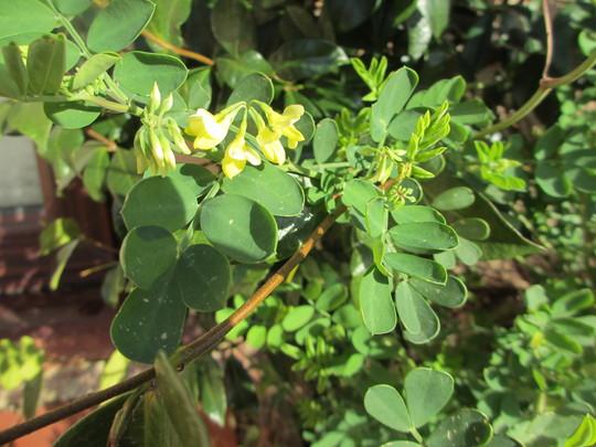 Coronilla valentina ssp glauca (Coronilla Valentina glauca)