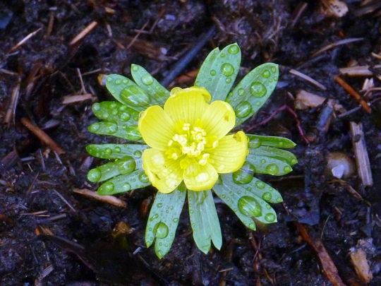 First Aconite