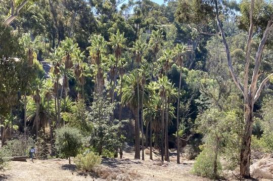Palms and Eucalyptus