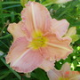 My salmon day lily