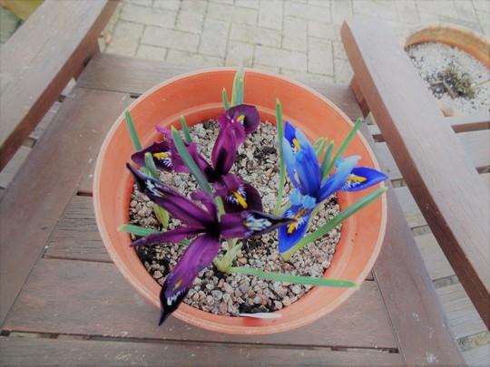 Pot of Dwarf Iris